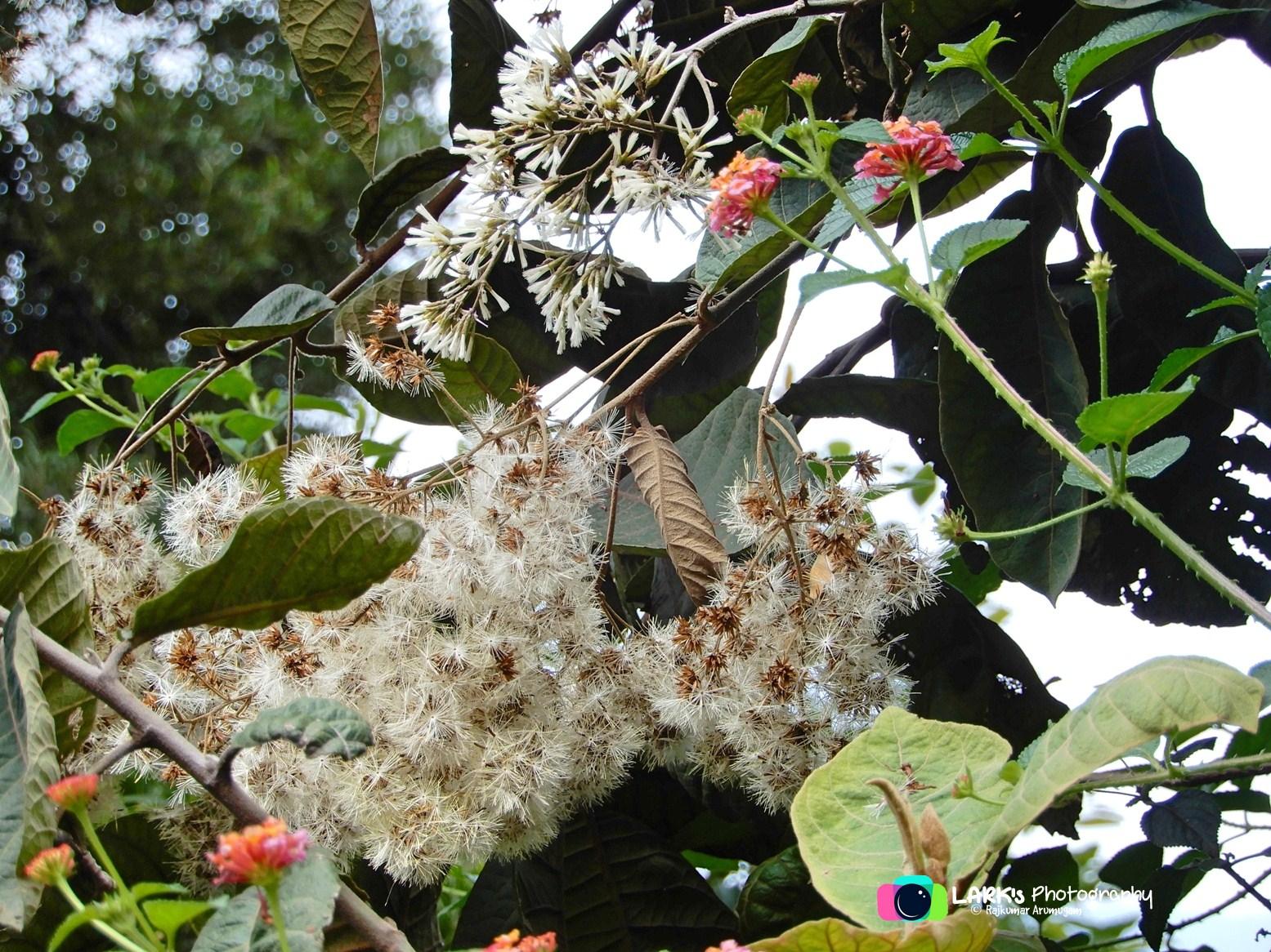 Tree Vernonia