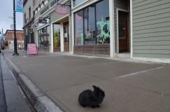 Pepper, a Calgary bunny, visits Fernie   British Columbia   Canada   Travel Adventures   Larkycanuck.com