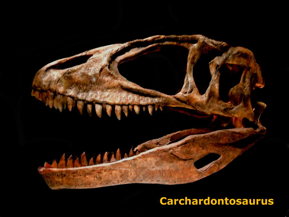 Carcharodontosaurus Skeleton The