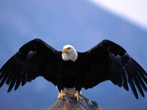 Bald_Eagle-Wingspan-1024x768