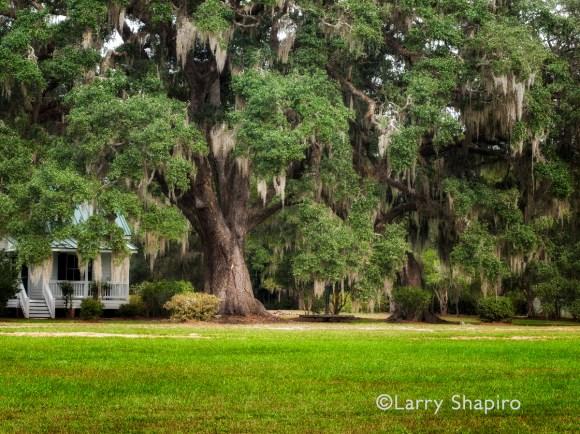 southern farm oak tree hanging moss