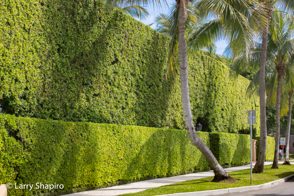 Manicured bushes in Palm Beach