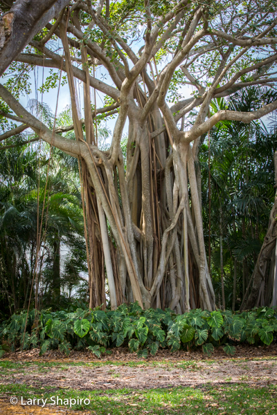 Banyan tree with multiple trunks