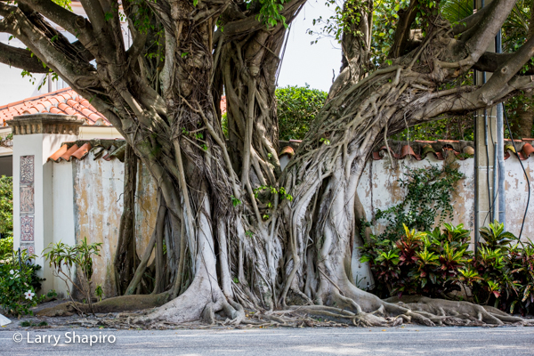 North County Road Banyan trees in Palm Beach FL