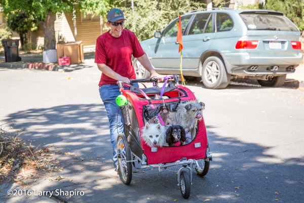 Three dogs in a jogging stroller