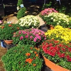 Your Garden Center Mum Destination