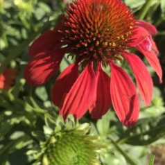 Coneflower with planters facing ground