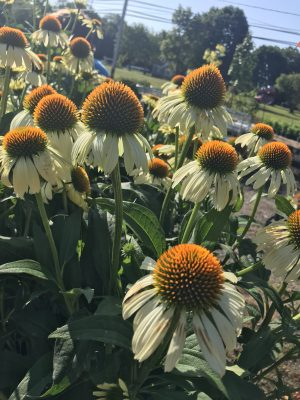 Coneflowers petals pointing to ground.