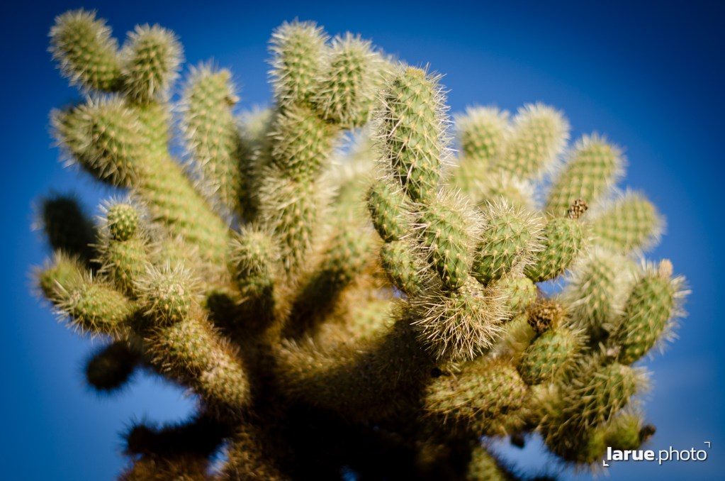 Cholla Can be a formidable foe is you're unfortuante enough to get stuck