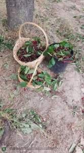 Apanha das cerejas