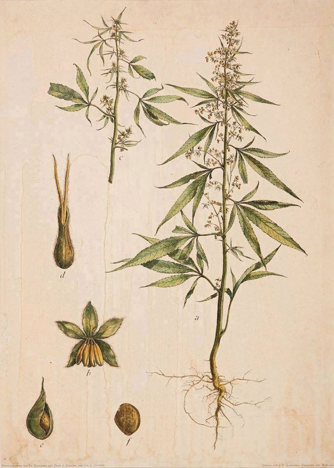 ¿Qué es Cannabis Sativa L?