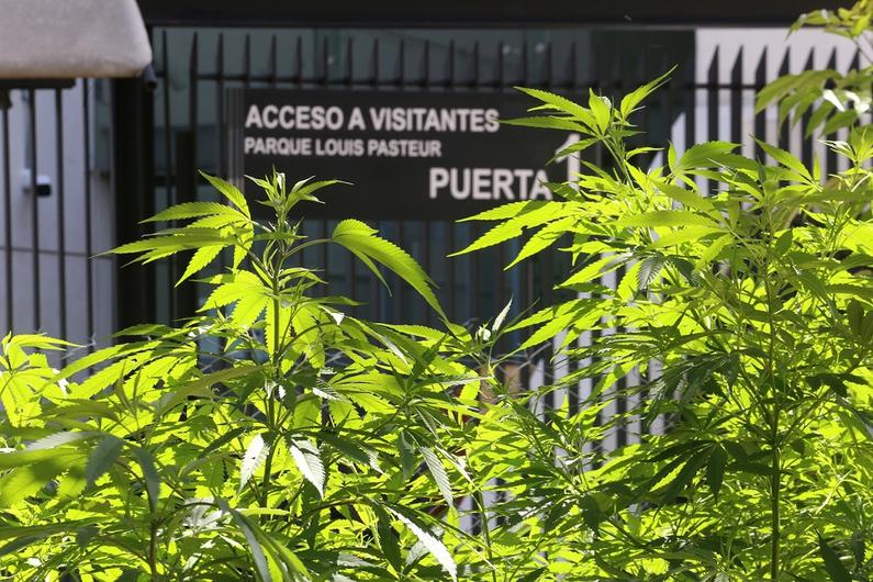Regulación del cannabis en México, estancada