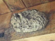 An ant nest under the eaves
