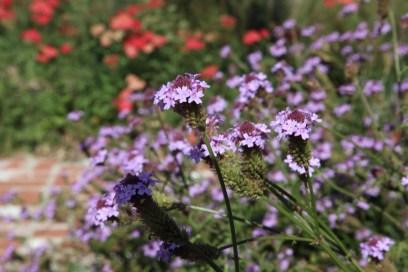 Lilac Verbena, Verbena lilacina `De la Mina`