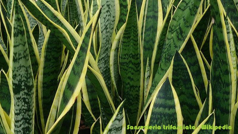Sansevieria trifasciata - Wikipedia