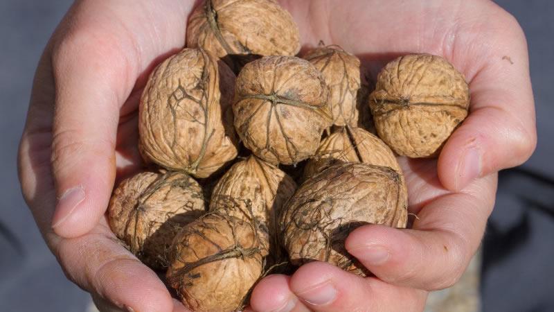 Consumir Nueces Nos Ayuda A Bajar de Peso y Nos Aleja del Cáncer
