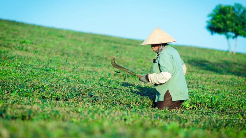 Beneficios para la salud del té verde: El té verde, la bebida Maravillosa