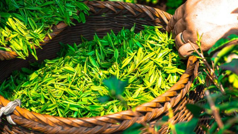 Descubra Algunos Hechos Sobre La Dieta Del te Verde