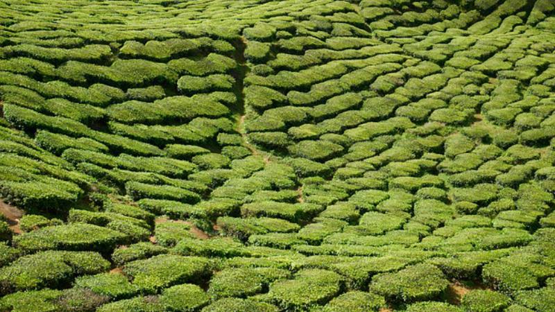 La Maravilla del Té Verde – Beneficios Médicos Asociados