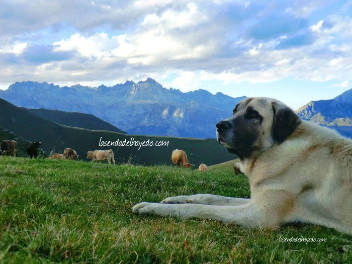 Mastín guardando el ganado en Llesba