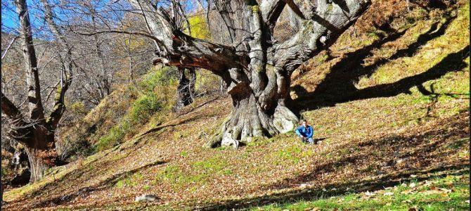 Castañal de La Verduéngana – Palacios del Sil