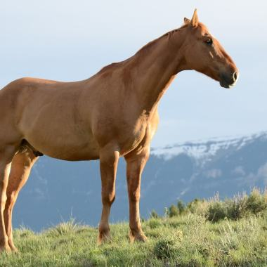 Cold Laser for horses