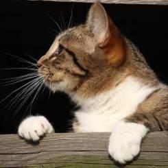 Feline laser