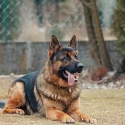 canine laser