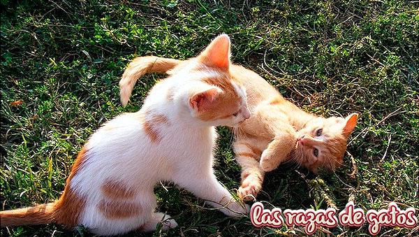 crias de gatos jugando