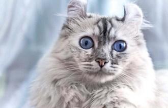 gato curl americano 1