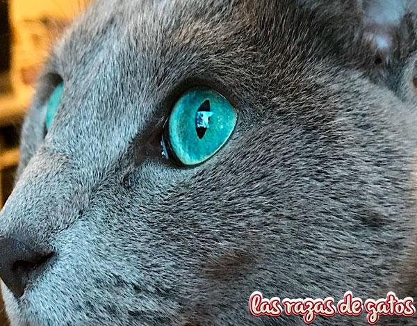 MIRADA GATO AZUL BLUE RUSO