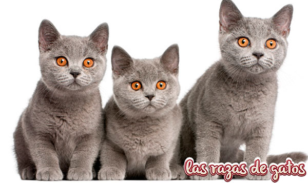 cachorros gato british pelo corto