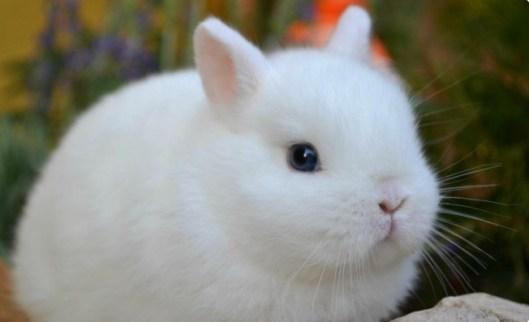 cucciola ermellino occhi azzurri