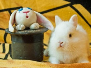 cucciolo coniglio nano ermellino