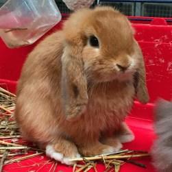 Apollo, Cucciolo coniglio ariete nano fulvo La Stalla dei Conigli ❤️