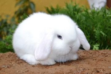 Cucciolo Ariete Nano Bianco - maintop white blu eyes - l