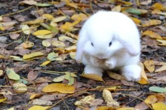 cucciolo ariete nano bianco occhi azzurri