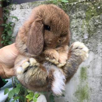 Ariete Nano Grigio Lepre La Stalla dei Conigli