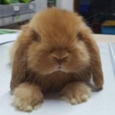 Matisse da piccolo, coniglio ariete nano fulvo