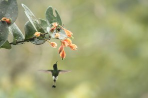 Booted Racket-tail, Male