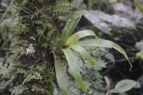 Bromeliads are the second largest family of epiphytes after orchids. They are distinctive with their large basal rosettes of leaves which often hold water. This held water becomes a miniature aquatic ecosystem for frogs and insects high up in the canopy of trees.