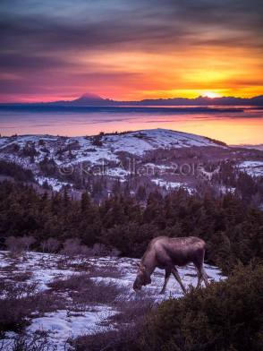 This Moose really wanted her picture taken! She ran out in front of the camera and started posing! - Kali Allen Glen Alps Trail, Flat Top, Anchorage By Kali Allen Photography
