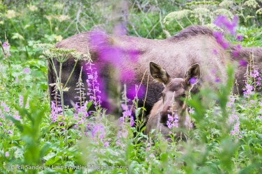 Moose calf and mom in fireweed along the Little Su. www.cecilsandersphotography.com