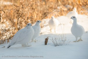 Ptarmigan with their winter coats. www.cecilsandersphotography.com
