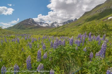 Lupines at Arch Angel