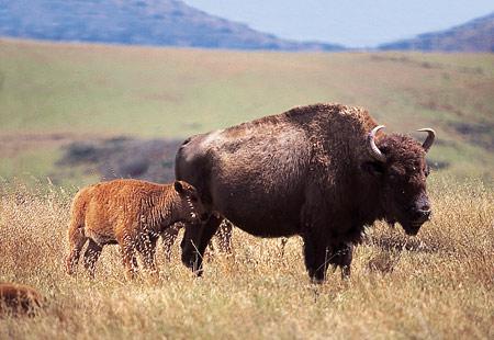 baby-buffalo-spring