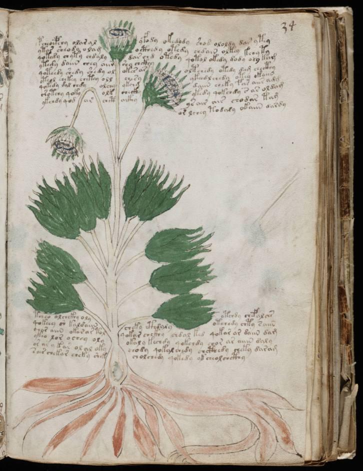 Una delle piante raffigurate nella sezione cosiddetta botanica, pagina 34.