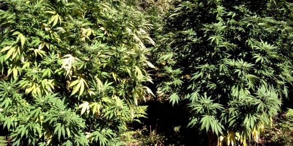 new snag for recreational marijuana in NV