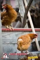 jardin-potager-poule-2