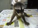 Baby male Raccoon survivor of poisoning 2012-08-32